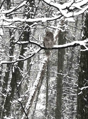 barred_owl3